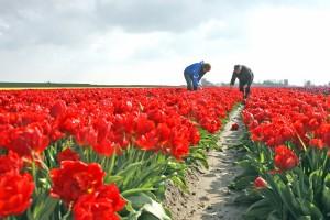 KvdS tulpen Noordam 013