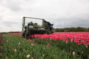 KvdS tulpen koppen 028